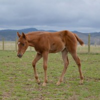 Foal walking across pasture