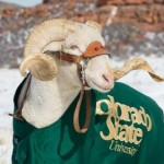 Cam the ram posing in the winter