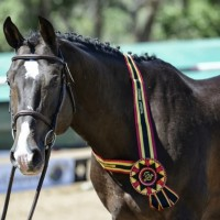 A winning stallion at the Holsteiner Approvals in New Mexico