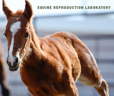 a foal at the equine reproduction laboratory