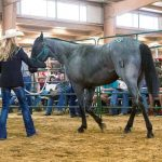 A KeSa horse goes through the sale ring in 2016