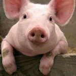 Picture of a pig